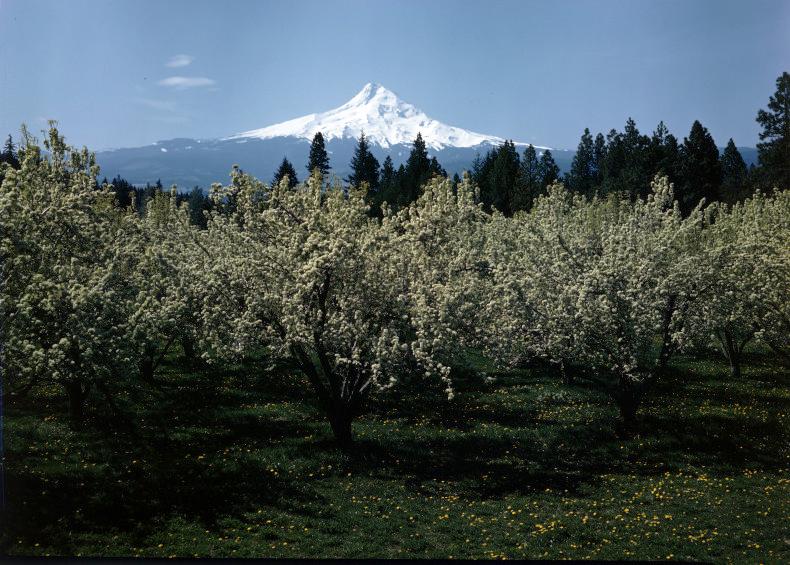 Pear blossoms, Mt Hood, 1940