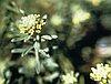 Pale madwort (Alyssum alyssoides (Brassicaceae)).