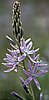 Camas (Camassia quamash (Pursh) Greene).