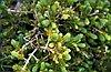 Engelmann spruce (Picea engelmannii Parry ex Engelm.).