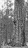 Botanist Oliver Matthews viewing Ponderosa pine, Oct. 1938.