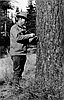 Walter J. Perry using an increment borer to extract tree rings.