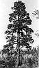 Ponderosa Pine (Pinus ponderosa C. Lawson).