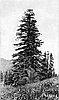 Shasta fir.